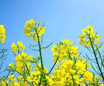 유채꽃 이미지